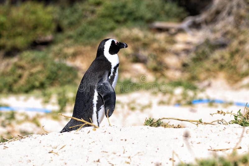 Pingüino africano fotografía de archivo
