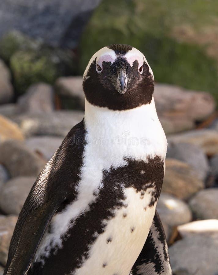 Pingüino africano en el parque zoológico Tampa en el parque de Lowry foto de archivo