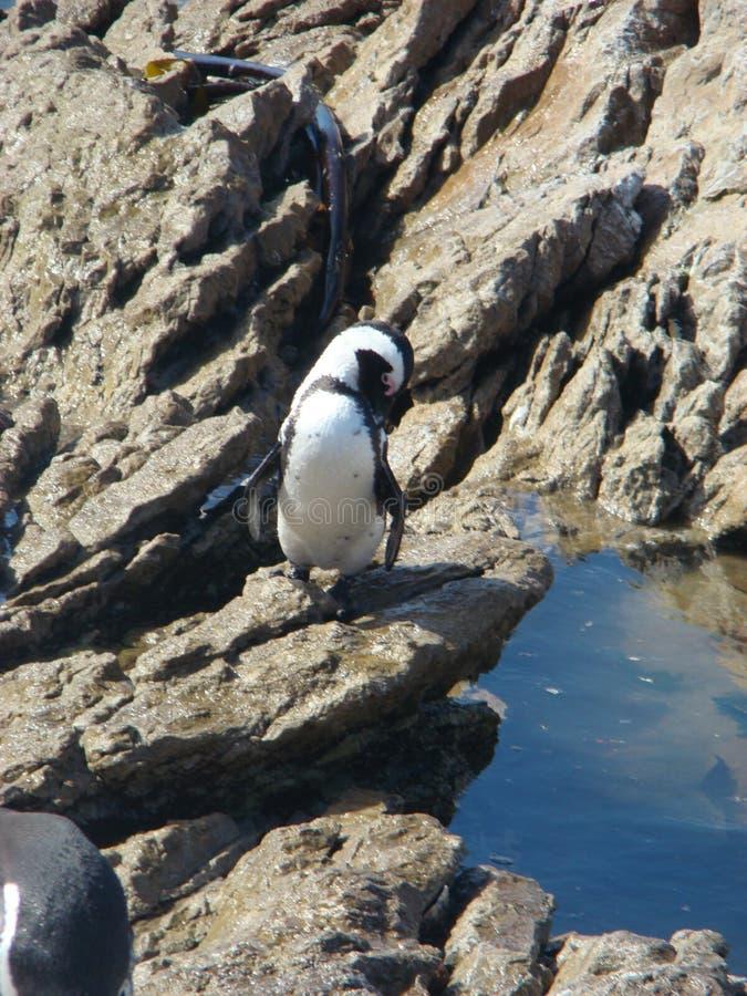 Pingüino africano hermoso imágenes de archivo libres de regalías