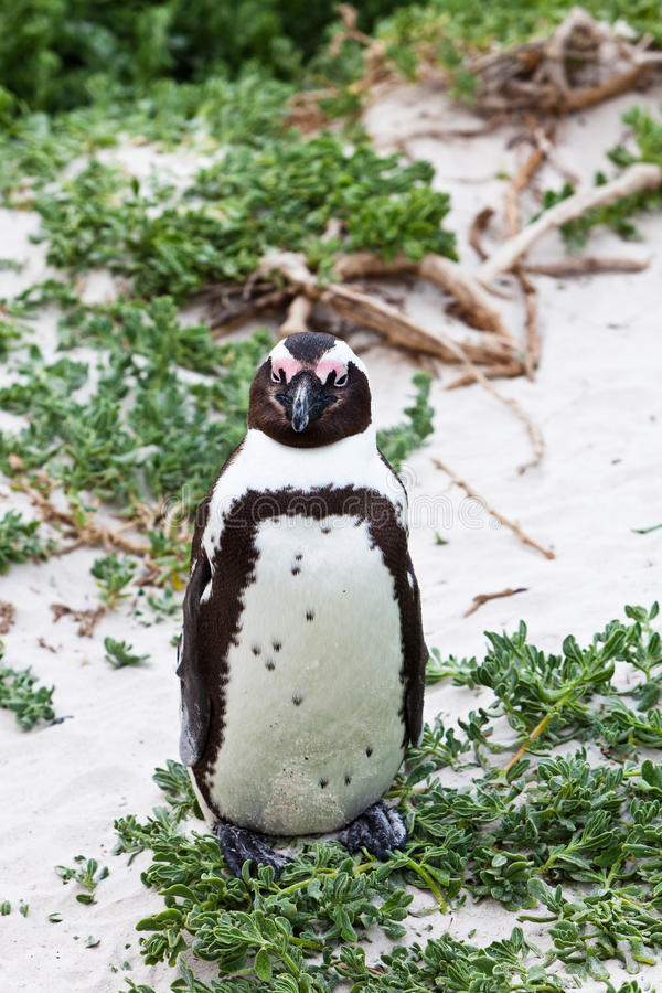 pingüino africano Negro-footed en cierre para arriba foto de archivo