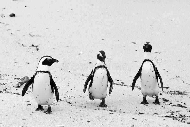 Pingüino africano negro-footed tres imagen de archivo libre de regalías