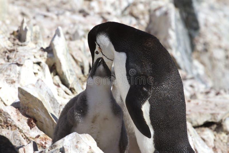 Pingüino antártico que alimenta su polluelo 1 foto de archivo libre de regalías