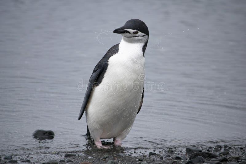 Pingüino de Adelie descansando en la costa pedregosa de la Antártida fotografía de archivo