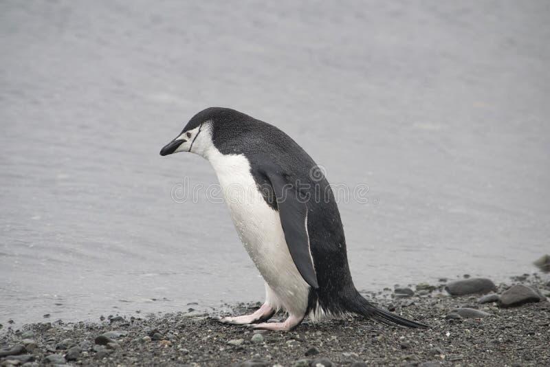Pingüino de Adelie descansando en la costa pedregosa de la Antártida fotos de archivo