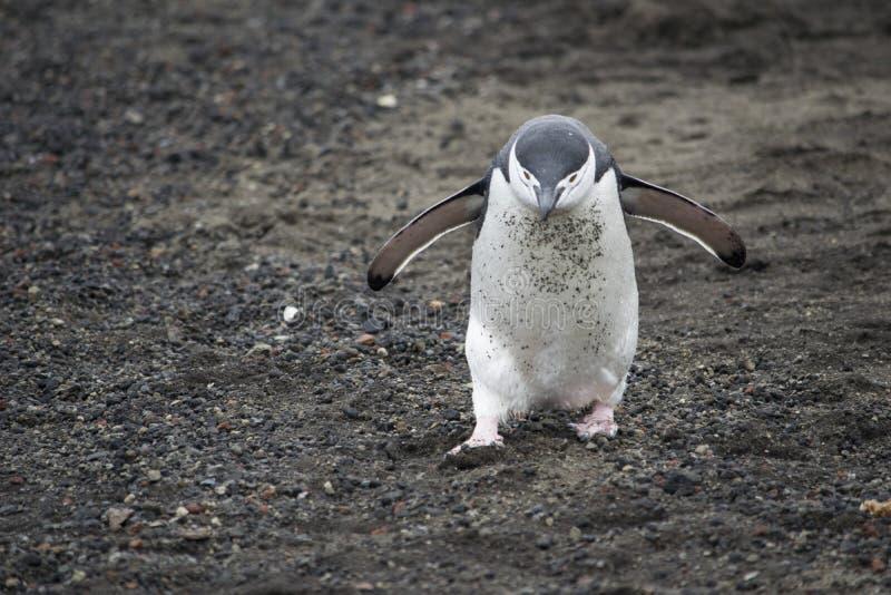 Pingüino de Adelie en la costa pedregosa de la Antártida foto de archivo libre de regalías