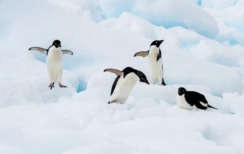 Pingüino de Adelie en un iceberg imágenes de archivo libres de regalías