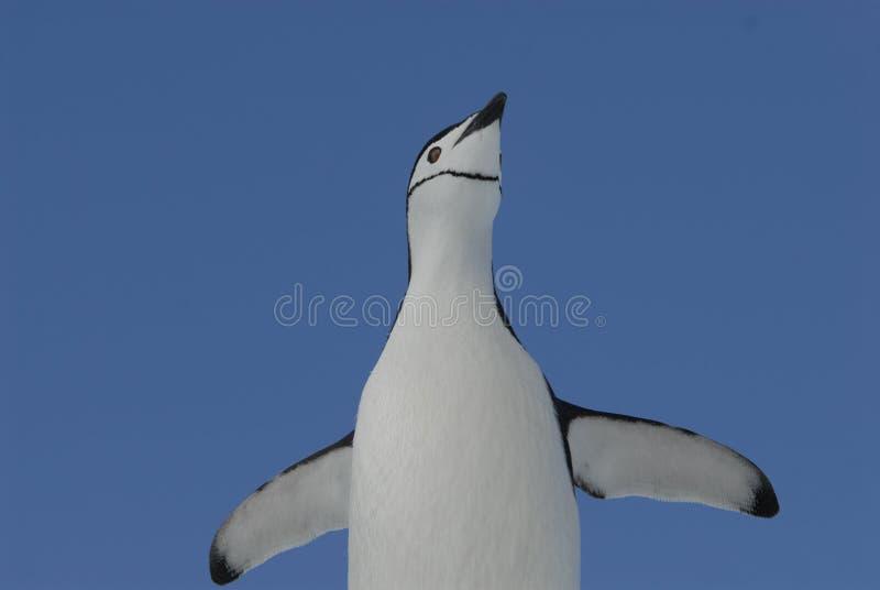 Pingüino de Chinstrap fotografía de archivo libre de regalías
