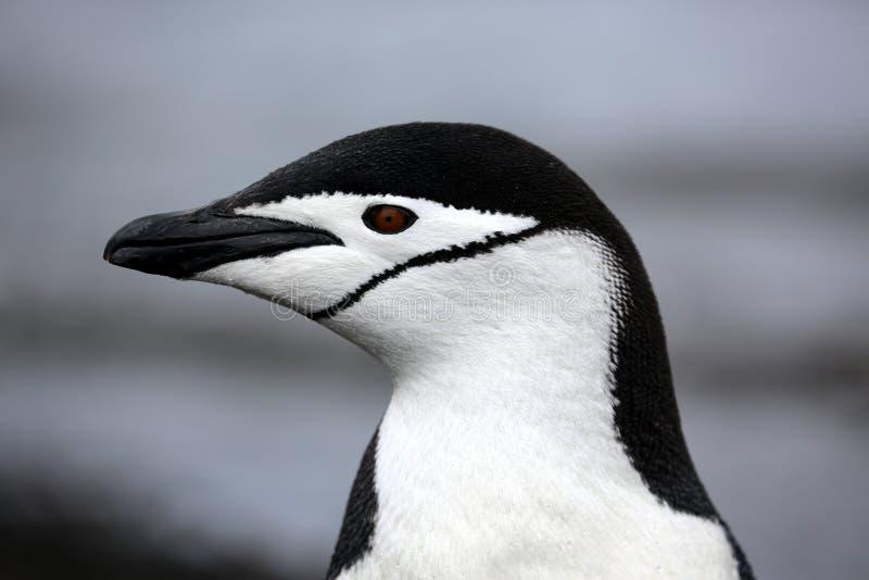 Pingüino de Chinstrap en la Antártida imágenes de archivo libres de regalías