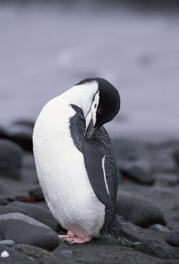 Pingüino de Chinstrap en la Antártida fotos de archivo