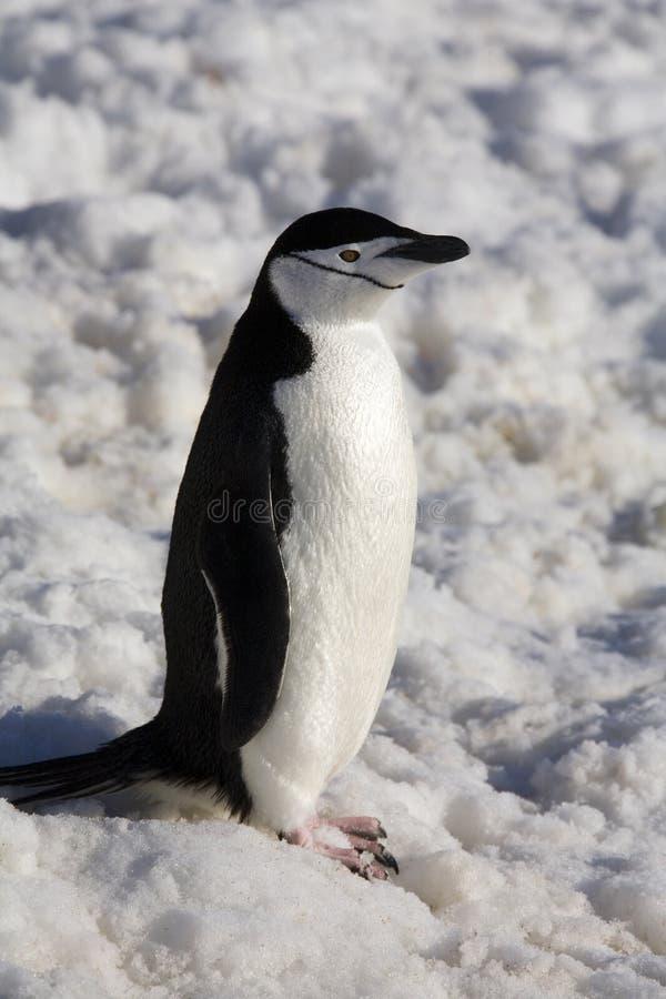Pingüino de Chinstrap - la Antártida fotografía de archivo