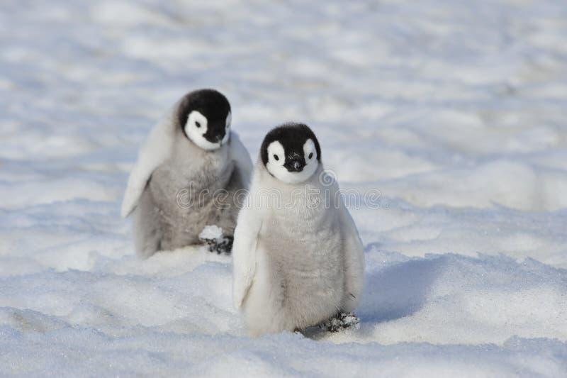 Pingüino de emperador imagen de archivo libre de regalías