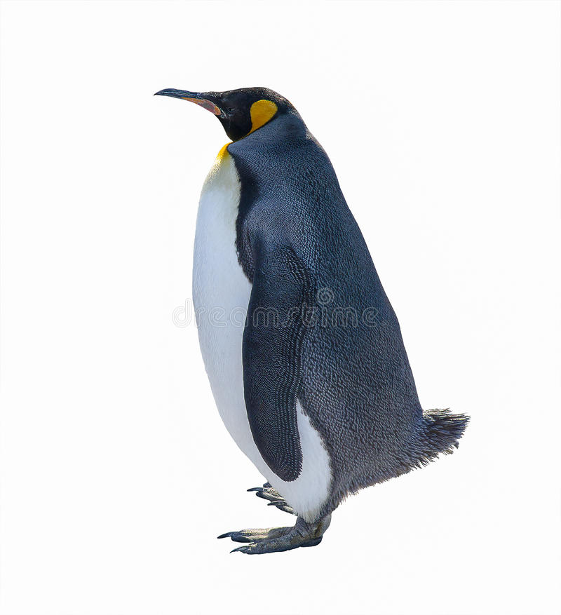 Pingüino de emperador aislado en el fondo blanco fotografía de archivo