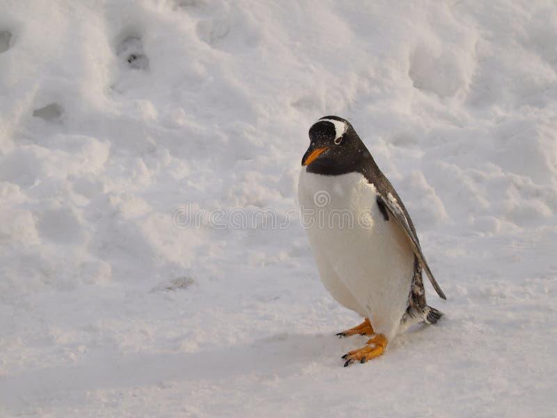 Pingüino de Gentoo fotografía de archivo libre de regalías
