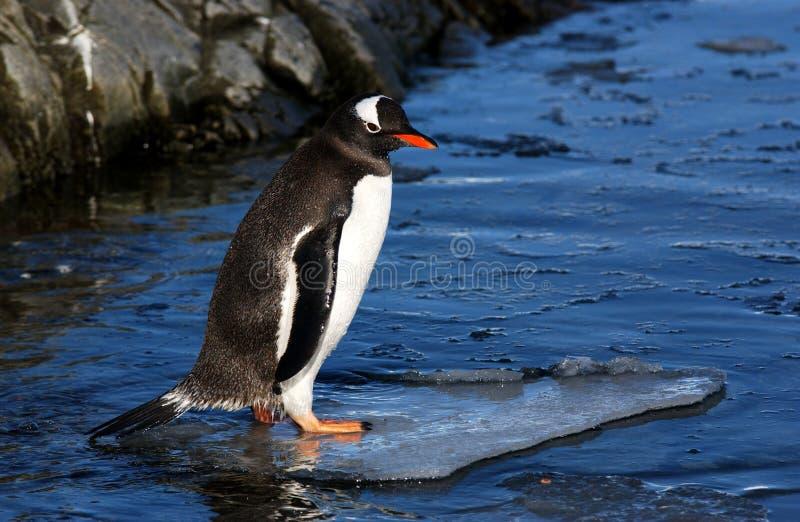 Pingüino de Gentoo