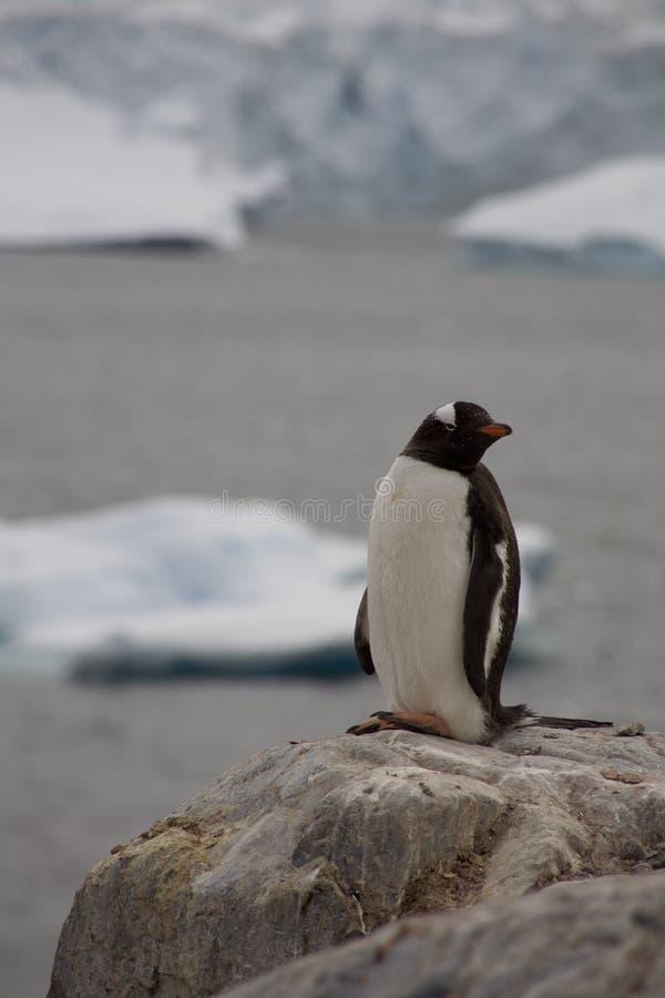 Pingüino de Gentoo, Ant3artida. fotografía de archivo libre de regalías
