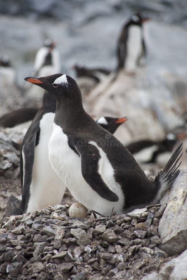 Pingüino de Gentoo con el huevo. foto de archivo