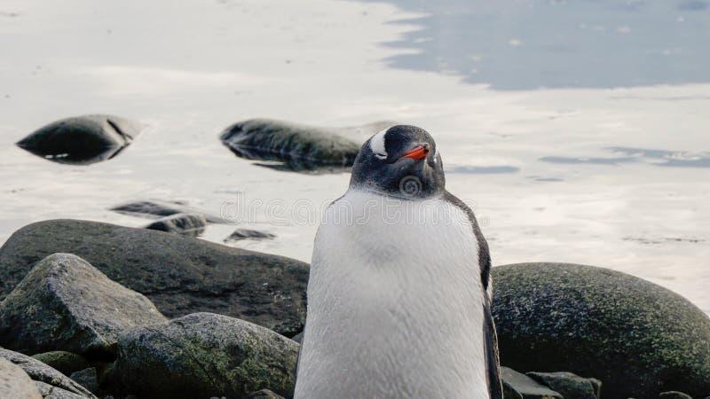 Pingüino de Gentoo en la isla nevosa de Wiencke en la Antártida fotos de archivo