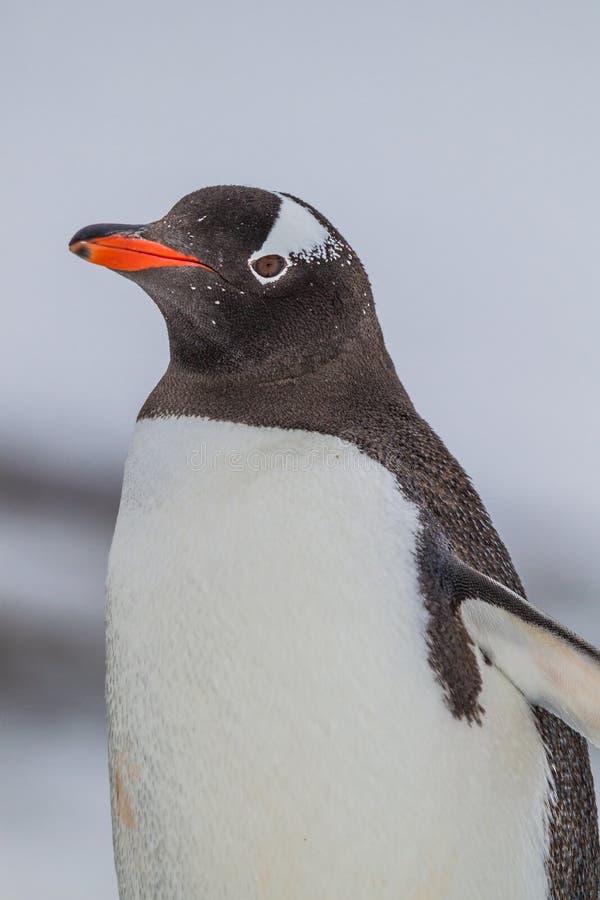Pingüino de Gentoo en perfil izquierdo fotografía de archivo