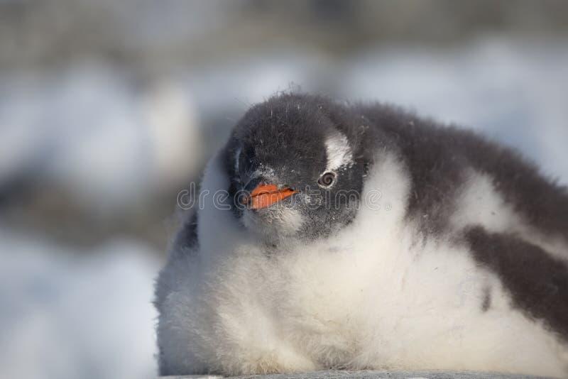 Pingüino de Gentoo solo Retrato del pingüino en la Antártida en el fondo de la falta de definición, islas de Argentina fotografía de archivo