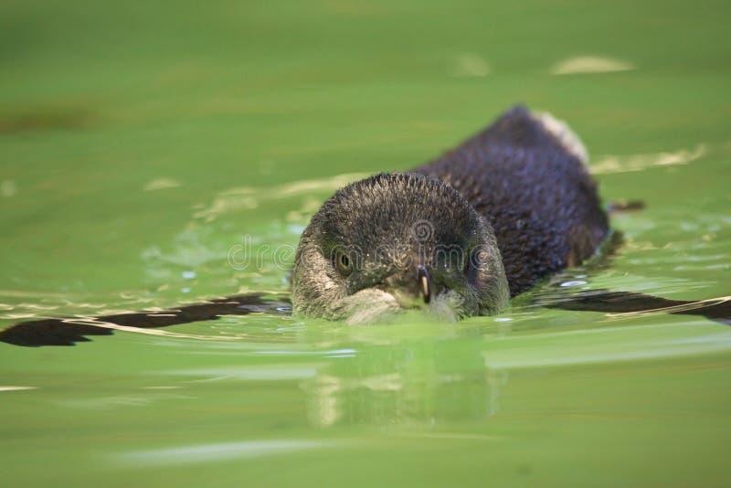Pingüino de hadas fotografía de archivo libre de regalías