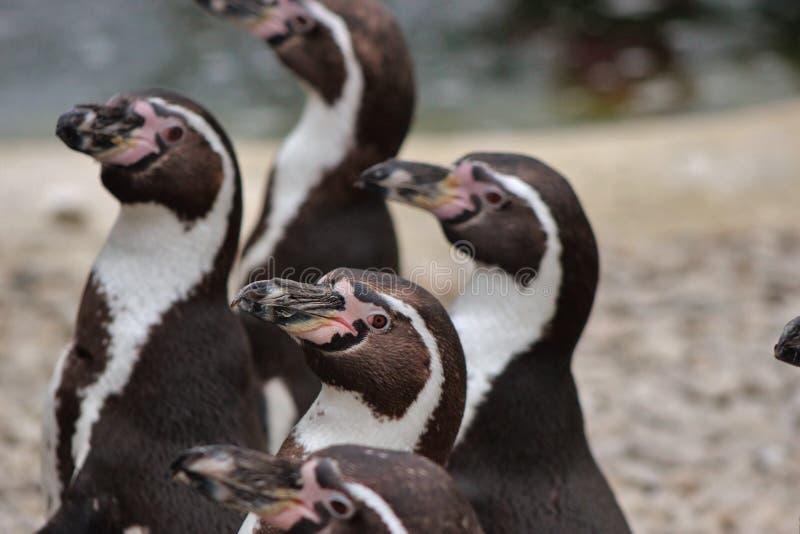 Pingüino de Humboldt fotos de archivo libres de regalías