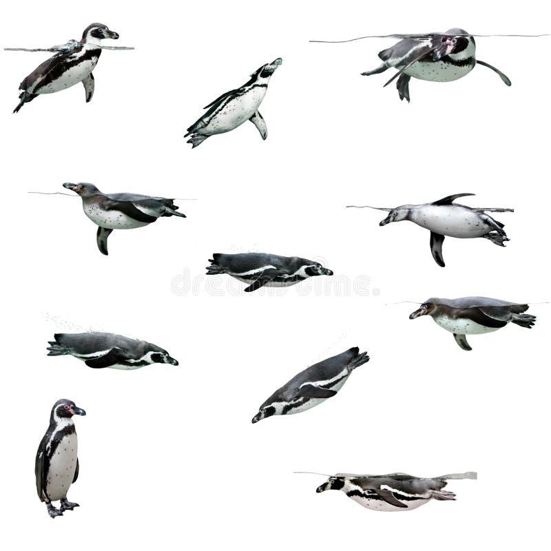 Pingüino de Humboldt imagenes de archivo