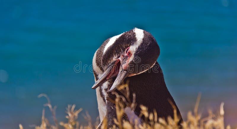 Pingüino de Humboldt que llama en la playa fotos de archivo libres de regalías