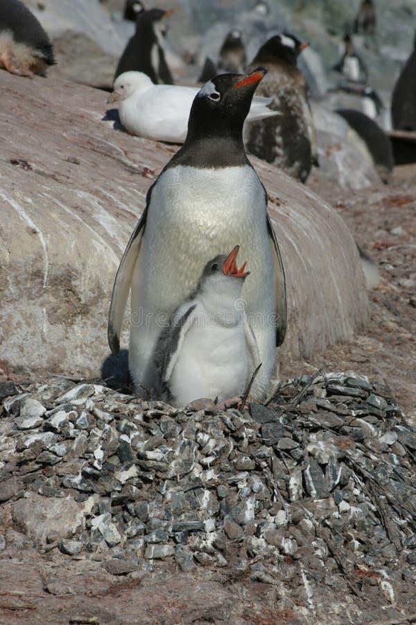 Pingüino de la jerarquización foto de archivo