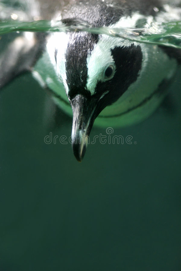 Pingüino de Magellan imagen de archivo libre de regalías