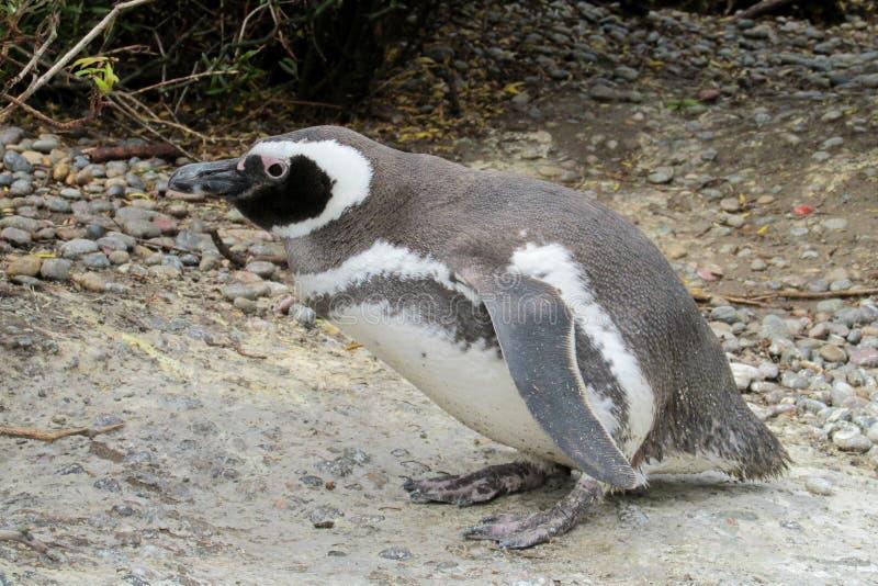 Pingüino de Magellan foto de archivo