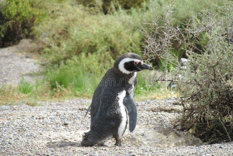 Pingüino de Magellan imágenes de archivo libres de regalías