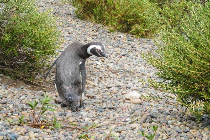 Pingüino de Magellan imagenes de archivo