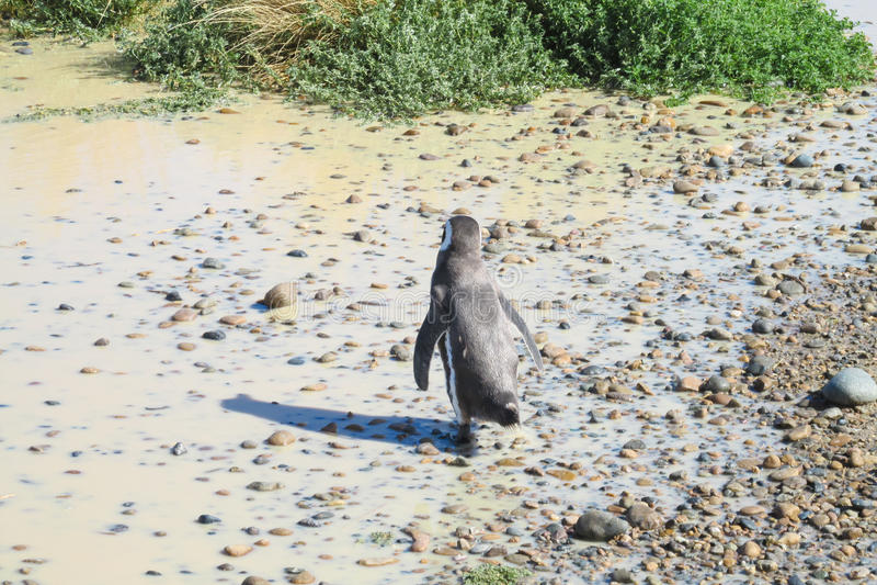 Pingüino de Magellan imagen de archivo