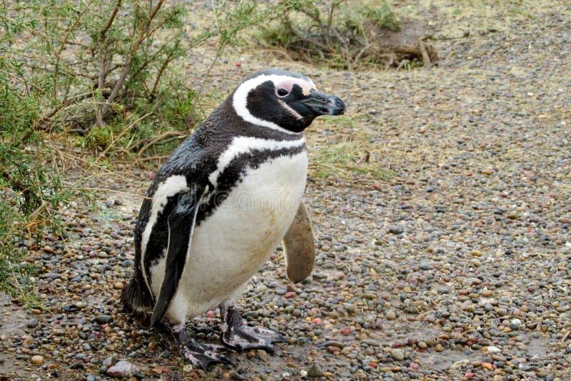 Pingüino de Magellan en el salvaje foto de archivo libre de regalías