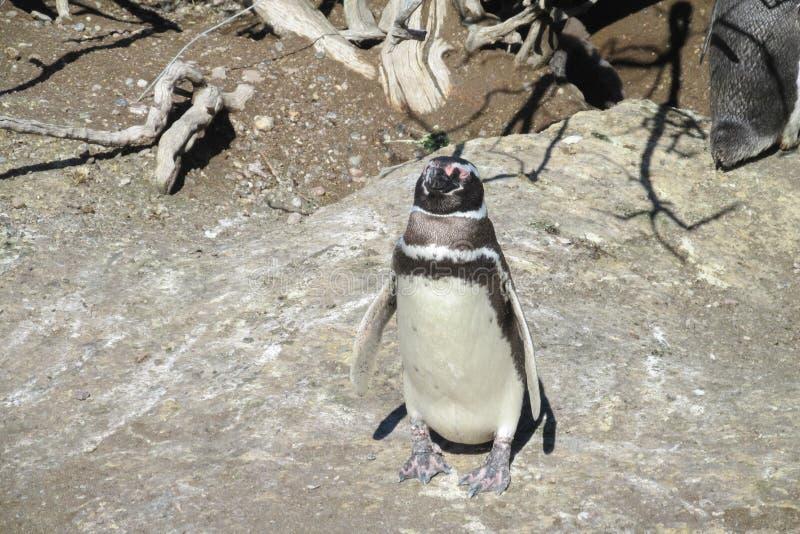 Pingüino de Magellan en una jerarquía imagen de archivo