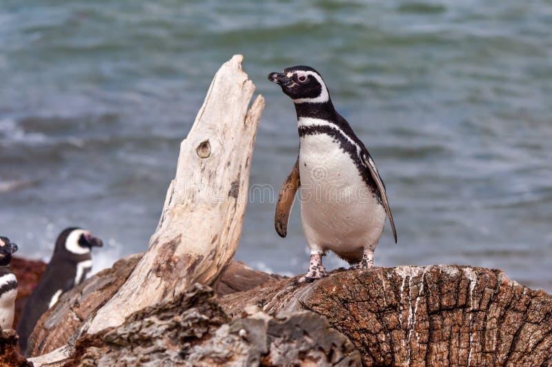 Pingüino de Magellan (magellanicus del Spheniscus) imagen de archivo libre de regalías