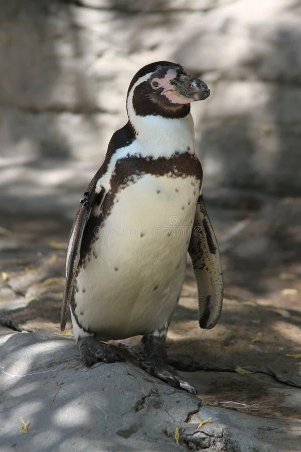 Pingüino de Magellanic en el santo Louis Zoo fotos de archivo libres de regalías