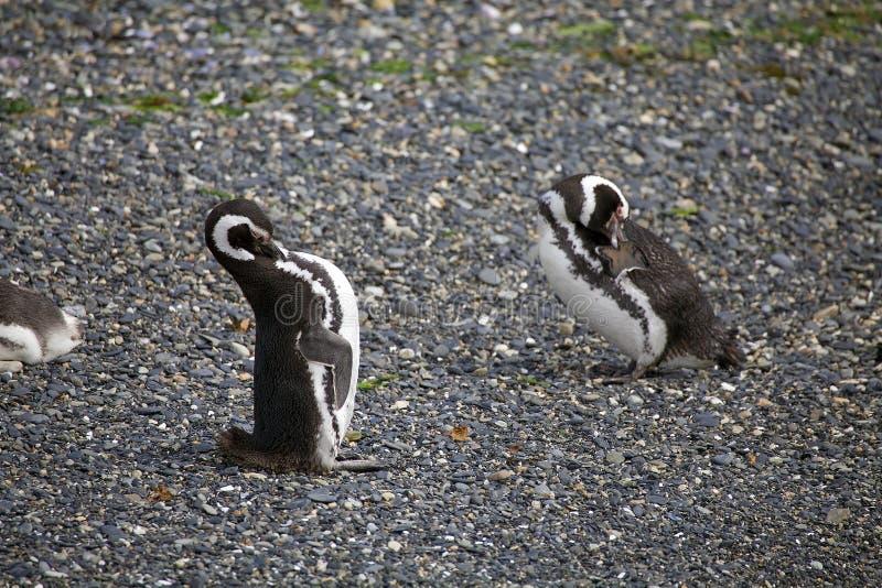Pingüino de Magellanic en la playa en la isla en el canal del beagle, la Argentina fotos de archivo libres de regalías