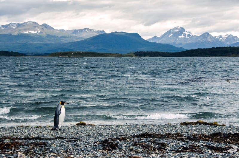 Pingüino de rey que camina en la orilla cerca de Ushuaia, montañas en el fondo imagen de archivo