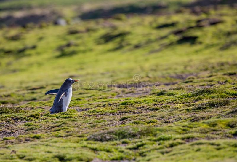 Pingüino delicado del gentoo en el prado enorme de la primavera del ártico fotografía de archivo libre de regalías