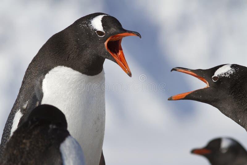 Download Pingüino Dos De Gentoo Durante Una Discusión Imagen de archivo - Imagen de recorrido, resorte: 41905549