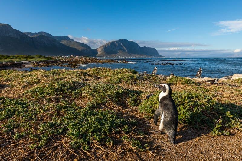 Pingüino en la bahía de Bettys en Suráfrica fotografía de archivo
