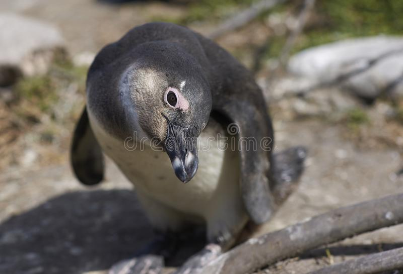 Pingüino inquisitivo imagen de archivo libre de regalías