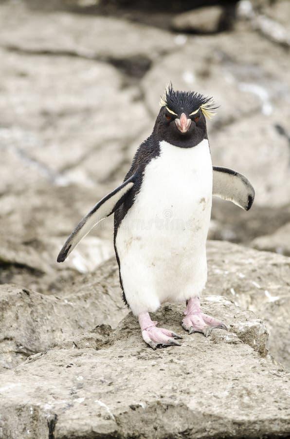 Pingüino Malvinas de Rockhopper  fotografía de archivo