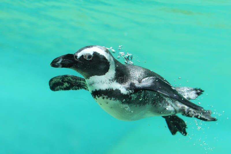 pingüino Negro-footed fotos de archivo libres de regalías