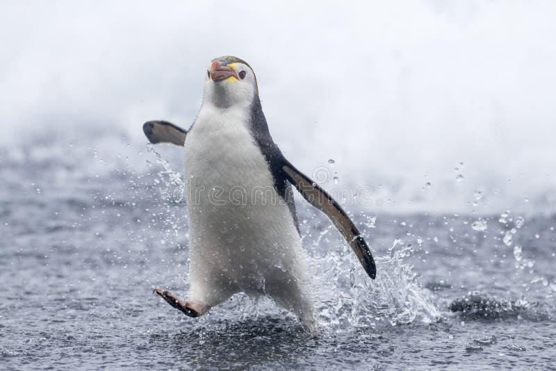 Pingüino real, schlegeli del Eudyptes imagenes de archivo