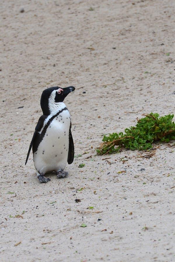 Pingüino solitario imagen de archivo