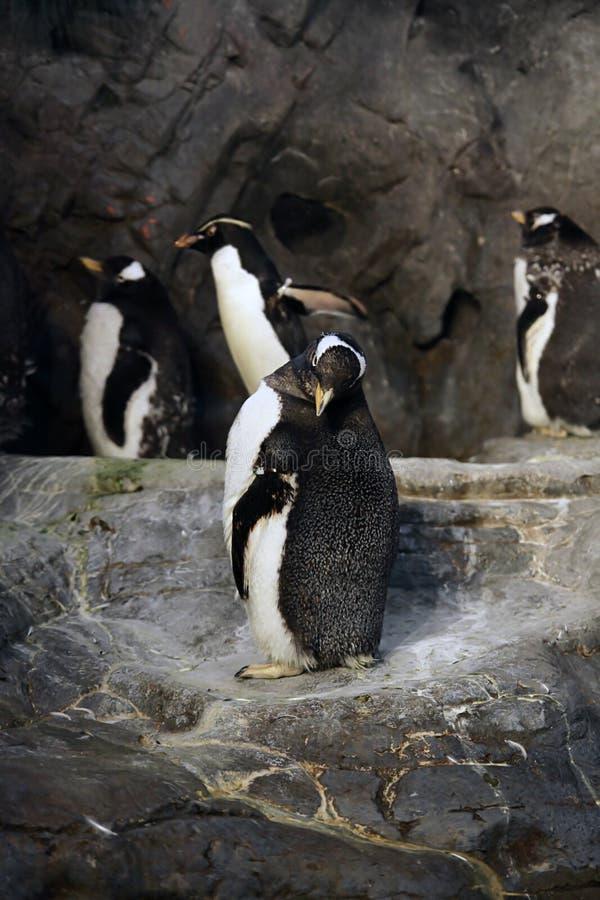Pingüinos foto de archivo libre de regalías