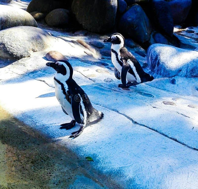 pingüinos imagen de archivo libre de regalías
