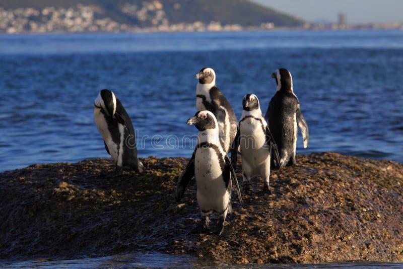 Pingüinos africanos foto de archivo